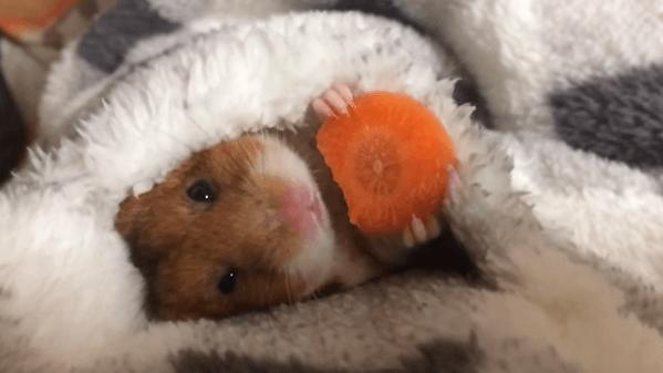 【動画】癒される‥‥寝転がりながらニンジンをもぐもぐ食べるハムスター