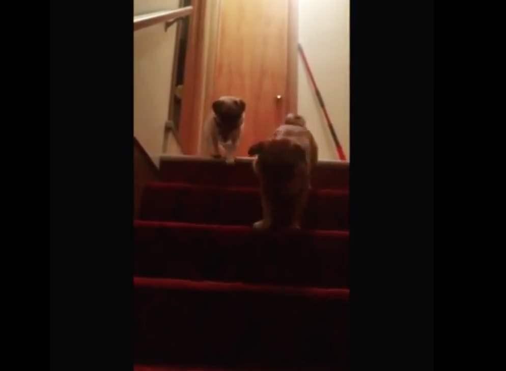 【動画】妹に階段の降り方を教えてあげるパグ兄貴