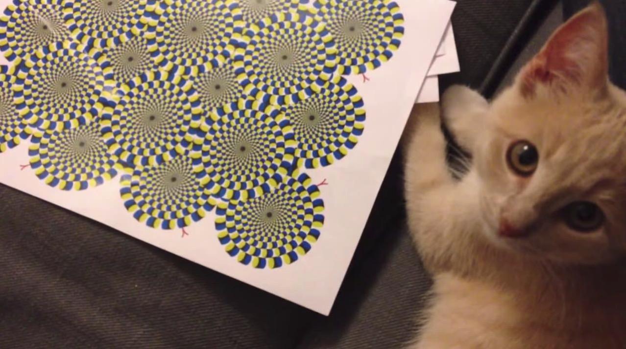 「なんでや、わいの目がおかしいんか?」猫が錯視画像を見たら(●ↀωↀ●)✧