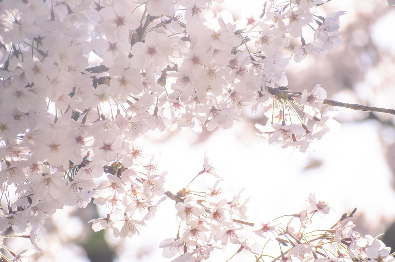 東京で桜が開花!2016年3月21日は平年より5日早く昨年より2日早い