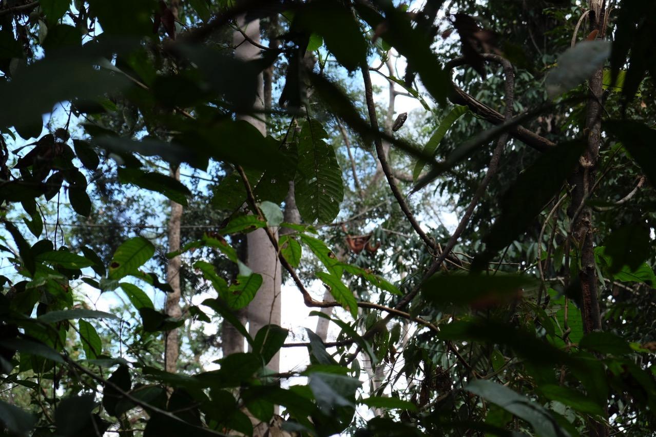 Sepilok orangutan rehabilitaion centre 9653