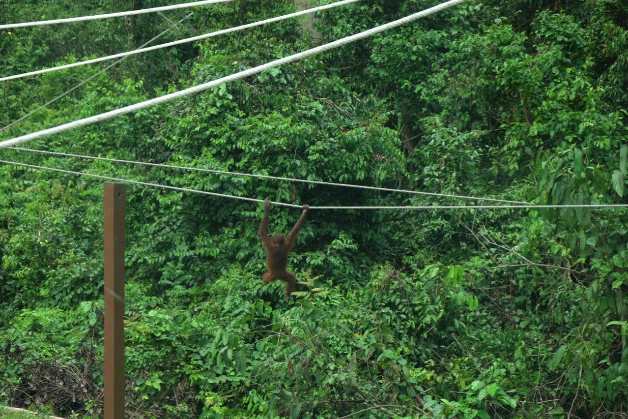 Sepilok orangutan rehabilitaion centre 9655