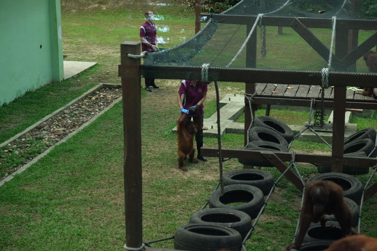 Sepilok orangutan rehabilitaion centre 9657