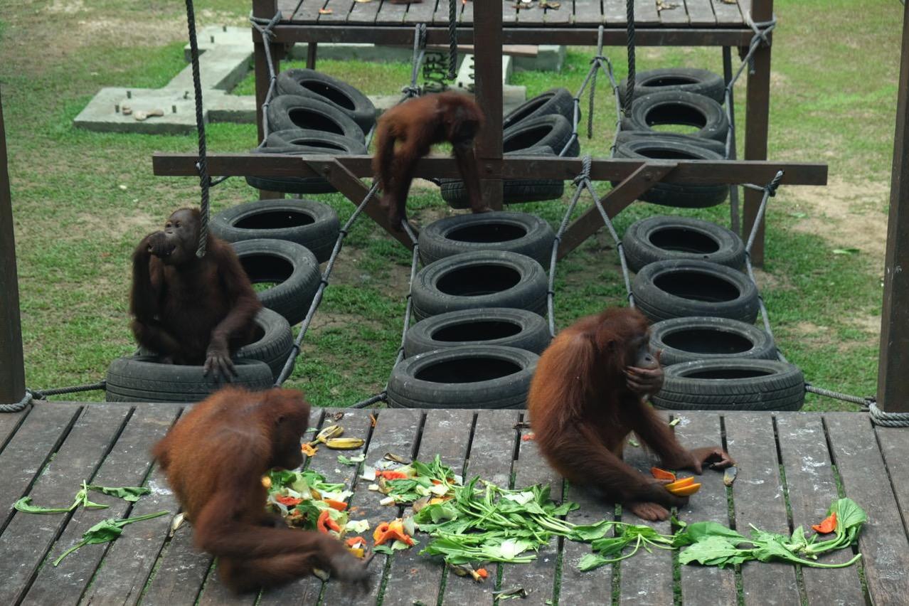 Sepilok orangutan rehabilitaion centre 9658