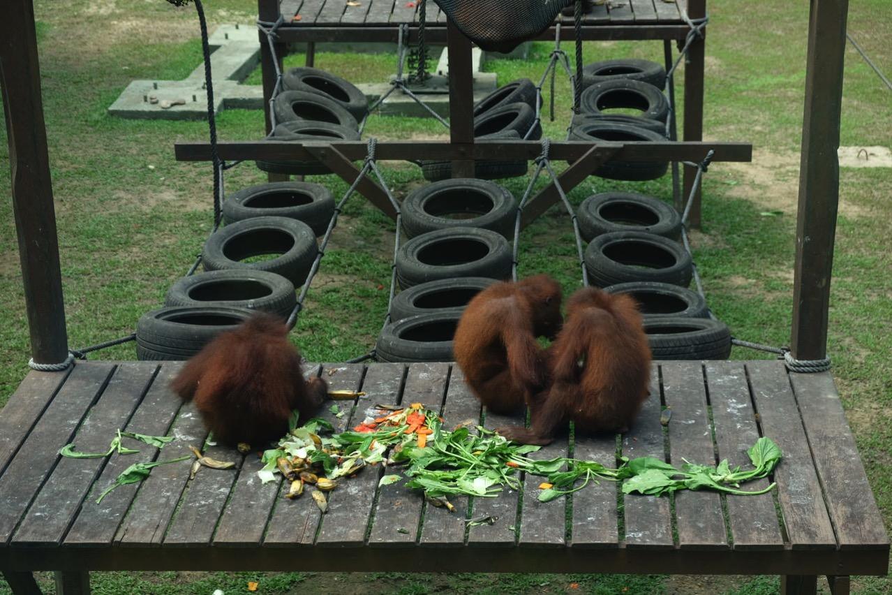 Sepilok orangutan rehabilitaion centre 9660