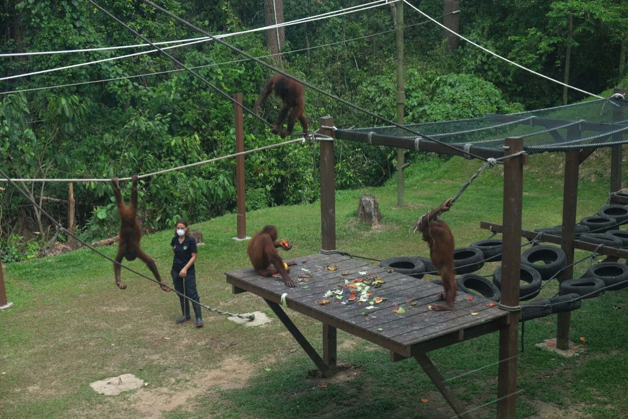 Sepilok orangutan rehabilitaion centre 9667