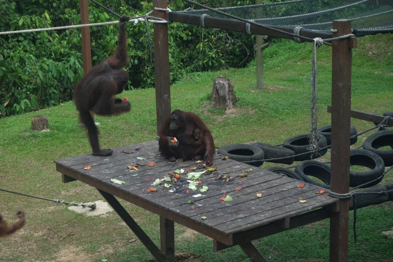 Sepilok orangutan rehabilitaion centre 9669