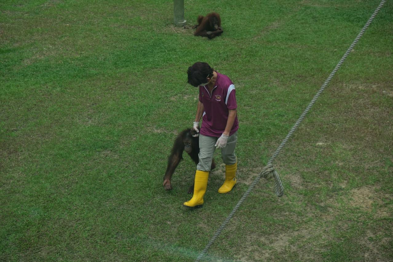 Sepilok orangutan rehabilitaion centre 9675