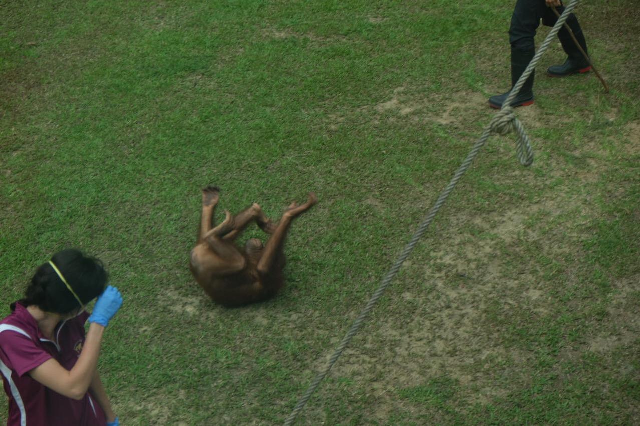 Sepilok orangutan rehabilitaion centre 9678