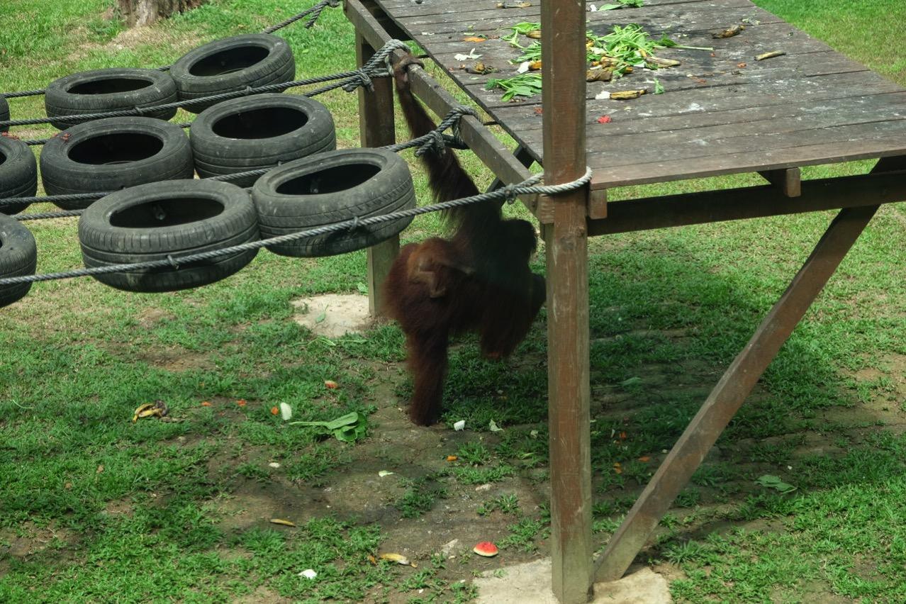 Sepilok orangutan rehabilitaion centre 9680