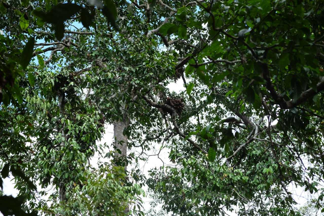 Sepilok orangutan rehabilitaion centre 9681