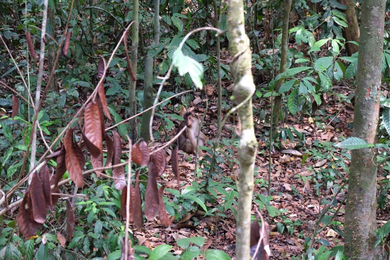 Sepilok orangutan rehabilitaion centre 9686