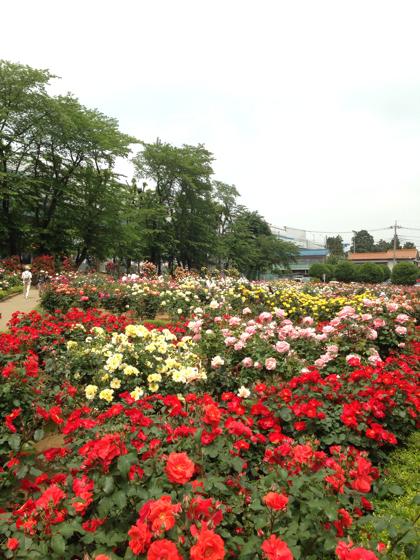 薔薇が満開すぎる!「与野公園」10万人が訪れる薔薇祭り #さいたまツアー