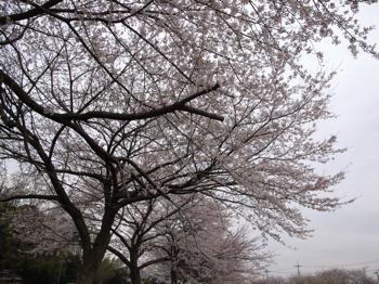 桜@見沼(浦和)  2007