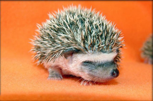 Images Animals Babyhedgehog03