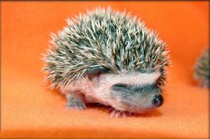 Images Animals Babyhedgehog03