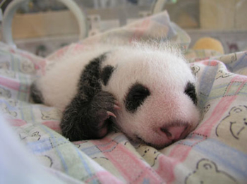 Images Animals Babypanda13