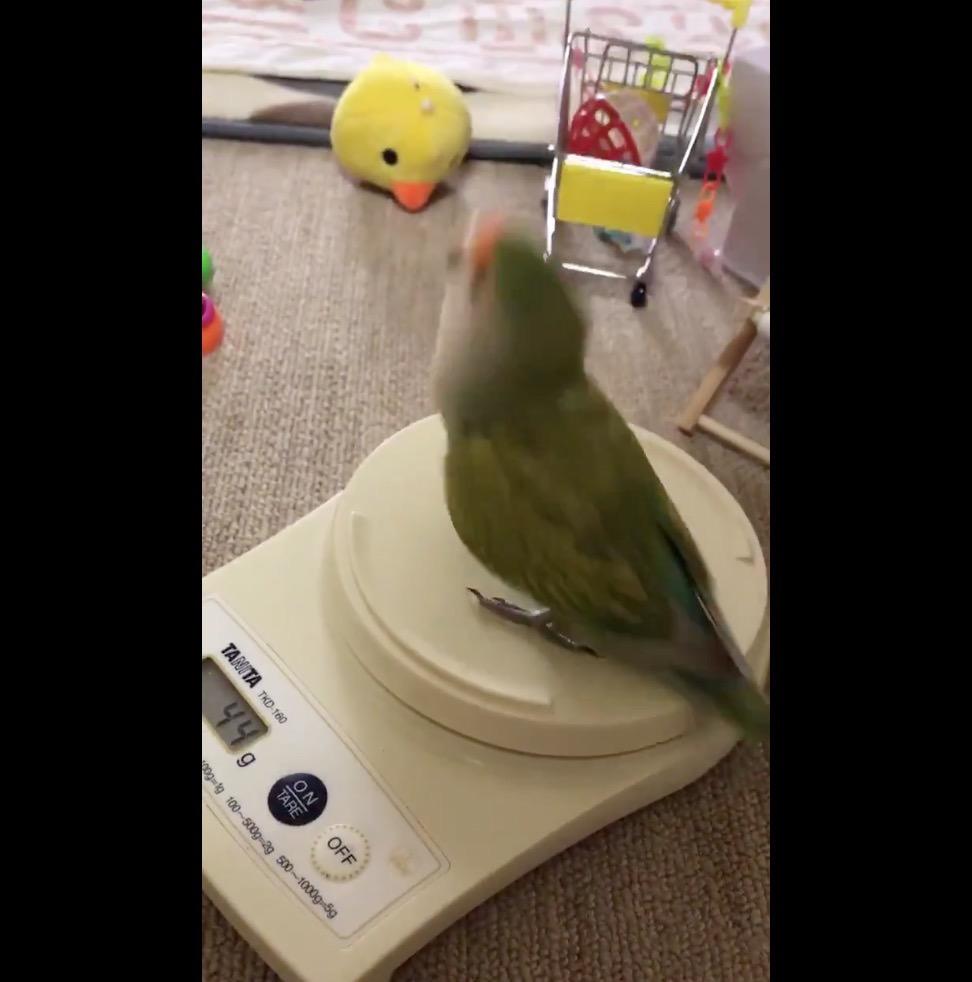【動画】パヤパヤ♪歌にあわせてリズムを取って踊るコザクラインコがかわいい!