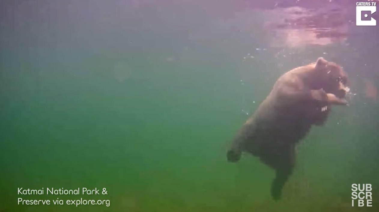クマが水中で魚を捕まえてる瞬間を捉えた動画