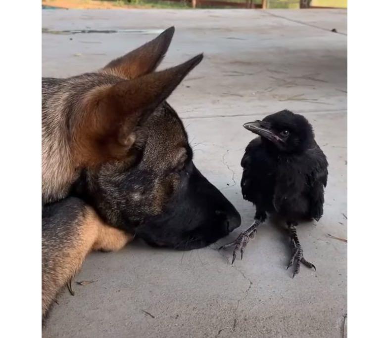 【動画】カラスと仲良しの犬