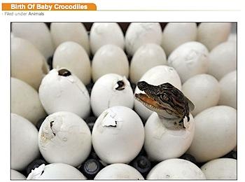 ワニの赤ちゃんが卵から生まれる写真