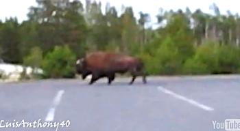 ビデオカメラで撮影しながら野生のバッファローに近づきすぎて襲われた女性の動画がYouTubeに