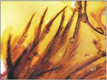 ロイヤル・ティレル博物館などに収蔵される琥珀から恐竜の羽毛が発見される!