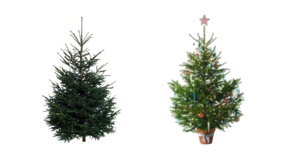 「IKEA」生のモミの木クリスマスツリーの販売を開始