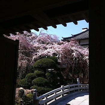 玉蔵院の枝垂れ桜が見ごろ(浦和)