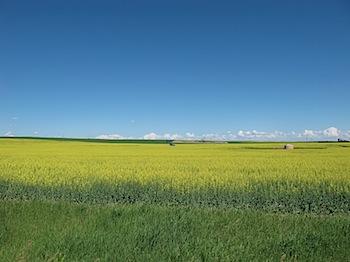 【ネタフル・カナダ支局】キャノーラ畑に油田を見た
