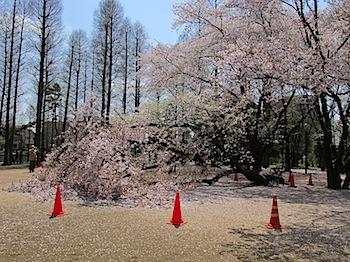 別所沼公園の桜が倒れる(浦和)