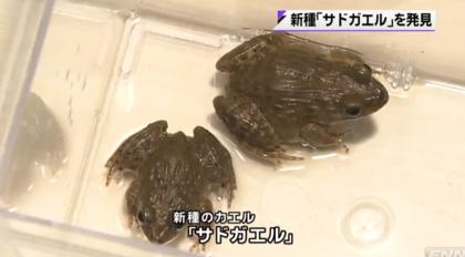 「ギューン、ギューン」と鳴くサドガエルが新種として認定される