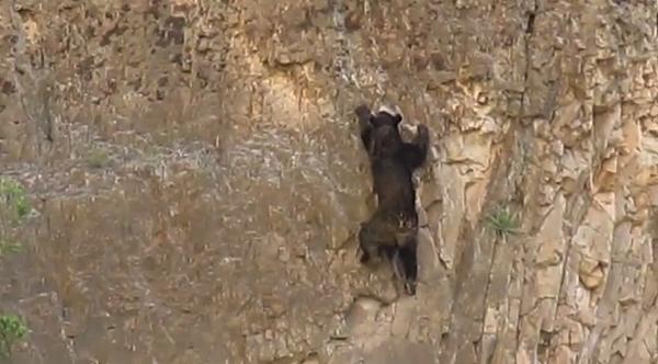 【動画あり】熊のロッククライミング!熊は木登りだけじゃなくて岩登りも得意