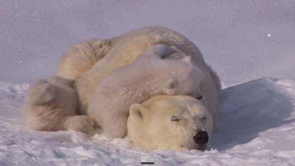 【動画あり】癒されるぅ〜!ゴロンゴロンしてるお母さんシロクマと戯れる子シロクマたち