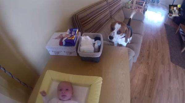 【動画あり】赤ちゃんのおむつ替えを手伝うビーグル犬