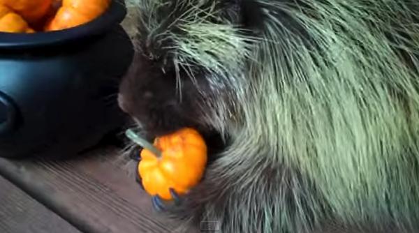 【動画あり】カボチャを食べるヤマアラシの鳴き声が可愛過ぎwww