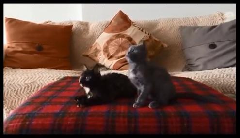 【動画あり】なんというノリノリ!なんというシンクロ率!子猫が音楽に合わせて仲良く首を振ってダンスしている!