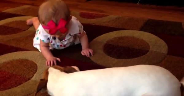 【動画あり】なにこれかわいすぎる!(笑)赤ちゃんにハイハイを教える犬の得意げな顔ったら!