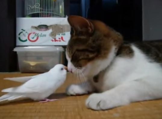 【動画あり】鳥と猫に芽生えた友情!鳥「遊んでよ〜」猫「眠いよ〜」