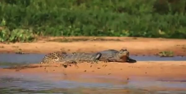 【動画あり】隠密行動したヒョウにワニが水辺で狩られてしまう!