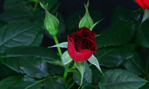 【動画あり】つぼみから花へ‥‥赤い薔薇が咲く一部始終が幻想的