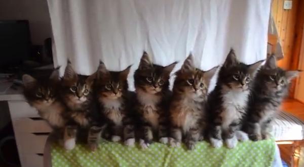 【動画あり】動きがシンクロする7匹の子猫たち