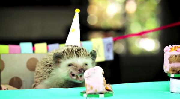 【動画あり】ハリネズミの小さな誕生会!ゲストはハムスター