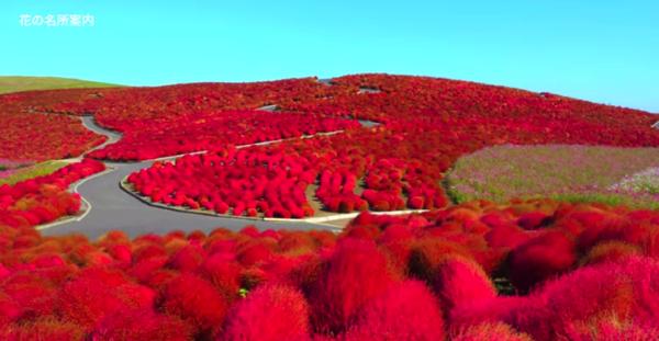 【動画】赤の絶景!日本にこんなに素敵な公園があったとは!ひたち海浜公園