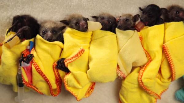 【動画】かわいらしい赤ちゃんコウモリに癒される‥‥