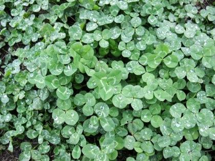 「しあわせのキューブ《四つ葉プチ栽培セット》」四つ葉のクローバーの出現率が高い栽培キット