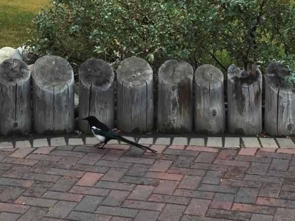 「マグパイ(Magpie)」アルバータ州の鳥 #アルバータ秋旅 #カナダ
