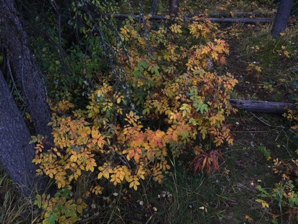 アルバータ州の花「ワイルドローズ(Wild Rose)」ナンバーにも描かれている #アルバータ秋旅 #カナダ