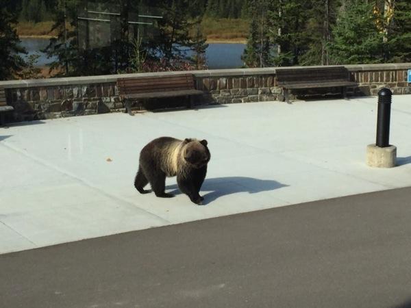 【生グリズリー】カナダで野生動物に遭遇するチャンスは多いけれどついにグリズリーにも!! #アルバータ秋旅 #カナダ