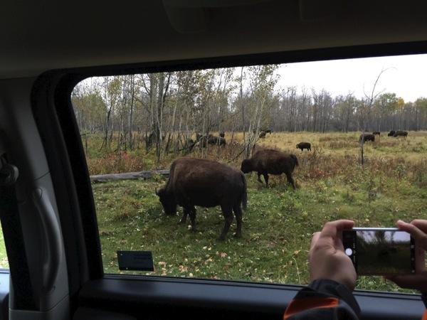 「エルク・アイランド国立公園(Elk Island National Park)」バイソンの群れやビーバー・ダムに出会う! #アルバータ秋旅 #カナダ